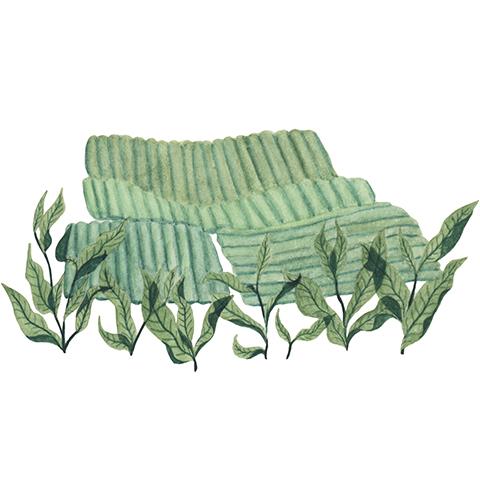 illust: 月ヶ瀬健康茶園