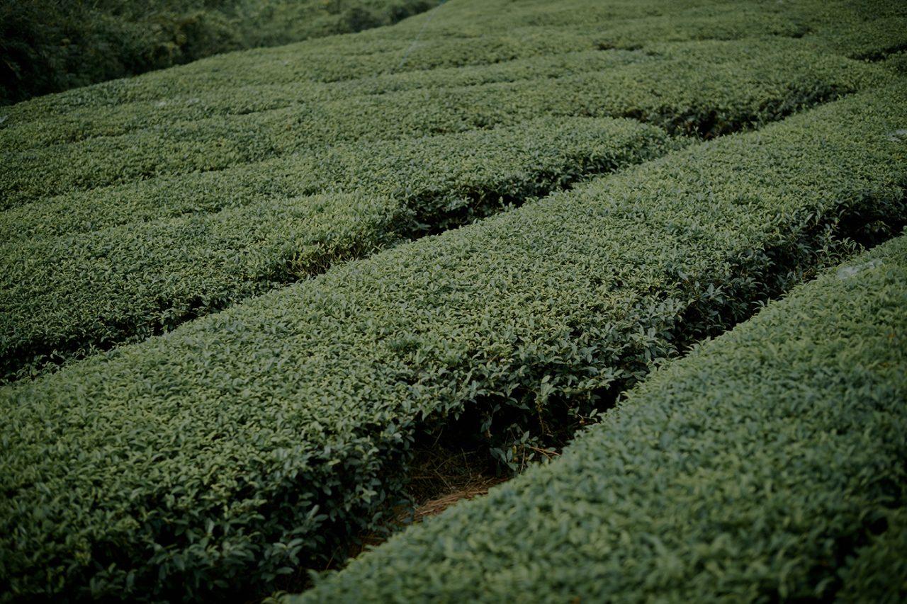 大和茶を求めて